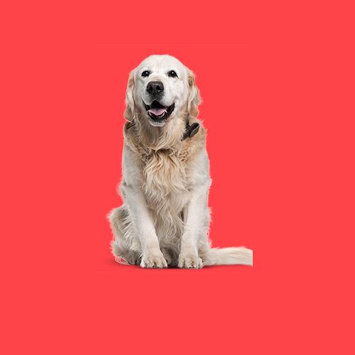 Пожилые собаки